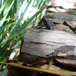 カエルは小川の側だけでなく、道端やまるめろっぢ周辺など色んな場所で見られます。