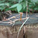 里山には色々な種類のキノコが生えています。切り株の上や木の側面、地面にこっそり生えていて見つけるのが楽しいです☆