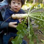 自分と同じぐらいの大根、抜く時に葉が顔に当たってしまいイヤイヤ~の子どもたちも抜いた大根は大事そうに手で持っていました。