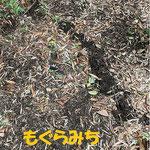 まるめろっぢ周辺で見られる『もぐら道』その名の通りモグラが通った跡です。土が柔らかくミミズが沢山いる豊な大地にもぐらは住んでいます。