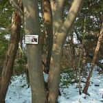 「アカガシ」の樹名札