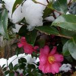 「山茶花」2015.1.1自宅の庭