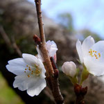 「寒桜」1/1赤山禅院