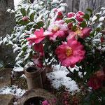 「サザンカ」玄元舎の庭2012.1.4