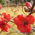 「梅」 2013/1/26 石橋文化センターの庭