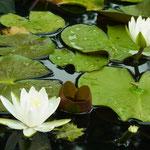 「蓮」2011/7/18 小浜『明通寺』の池
