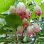 「サラサドウダンツツジ」2011/5/15玄元舎の庭