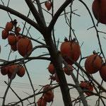 駅前の柿の木。一本は鳥にたべられ丸裸。こちらは鈴なりの実が‥何故?