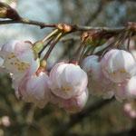 「唐実桜(カラミザクラ)」咲き始め。京都府立植物園2012/3/25