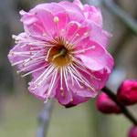 「寒紅梅」2/14京都府立植物園