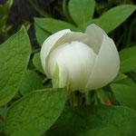 「ヤマシャクヤク」2011/4/29玄元舎の庭