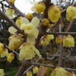 「ソシンロウバイ」のすっごく良い香りに誘われて‥民家の庭をパチリ