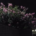 「サルスベリ(百日紅)」2012/8/10    京都市伏見区 〔暗闇に浮かび上がったピンクが美しい!〕