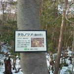 「タカノツメ」の樹名札