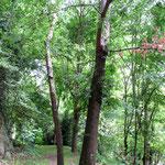 Les arbres de la réconciliation entre catholique et protestant