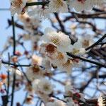きれいな梅の花♪