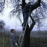 Anbringen einer Steinkauzröhre in einem Obstbaum
