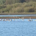Wasservögel vieler Arten als Wintergäste