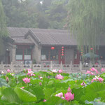 Im Hochsommer blüht der Lotus