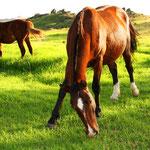 Viele Pferde weiden überall auf der Insel