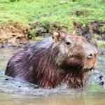 Pampas del Yacuma - Das Capybara oder Wasserschwein (Hydrochoerus hydrochaeris) ist eine Säugetierart und das größte lebende Nagetier der Erde.
