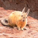 Bergviscachas - oder Schwanzhasen!!!