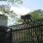 In der Stadt trifft man auch Affen