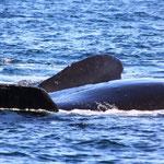 Südliche Glattwale
