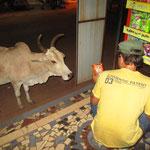 Kühe im Shop