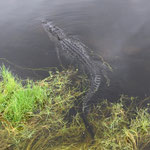 Alligator im Everglades-Nationalpark