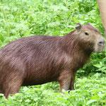 Pampas del Yacuma - Capybara