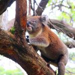 Koalas auf den Bäumen