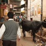 Kühe in den engen Gassen