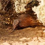Ein Armadillo, ein lustiges Tierchen, welches auch auf der Halbinsel beheimatet ist.