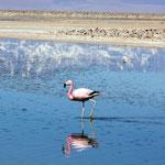 Flamingos an der Laguna Chaxa in der Salar de Atacama