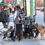 Ein Paseoperros. Das ist ein Beruf in Buenos Aires und bedeutet: Ein professioneller Hundeausführer!!!!!