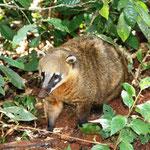 Ein kleiner Coati (Nasenbär).