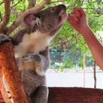 Im Koala-Spital