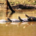 Pampas del Yacuma - Schildkröten