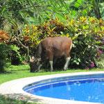 Unser Pool in Sanur - mit Besuch einer Kuh