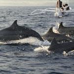 mit vielen Delfinen