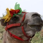 Begloppte Kamele...