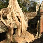 Das Tempelinnere von Ta Prohm besteht aus einem geflecht schmaler Gänge und zerfallendem Mauerwerk.