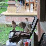 ... und dann suchten auch die Hühner Schutz vor dem Regen und klauten uns unseren Sitzplatz! :)