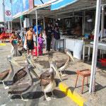 Arica. Beim Fischmarkt stehen die Pelikane schlange. Dem einten Pelikan ganz vorne im Bild steckt noch ein riesen Stück Fisch im Hals.