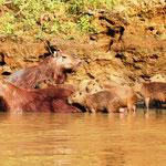 Pampas del Yacuma - Capybara Familie
