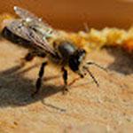 protection des abeilles