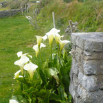 Exotische Pflanzen wie diese Calla, wachsen hier überall wild, dem milden Klima sei Dank