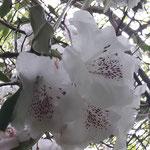 Rhododendren .....