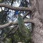 in 250 Jahre alten Bäumen sitzen Pfauen...